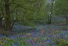 Photograph bluebells