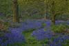Photograph of bluebells